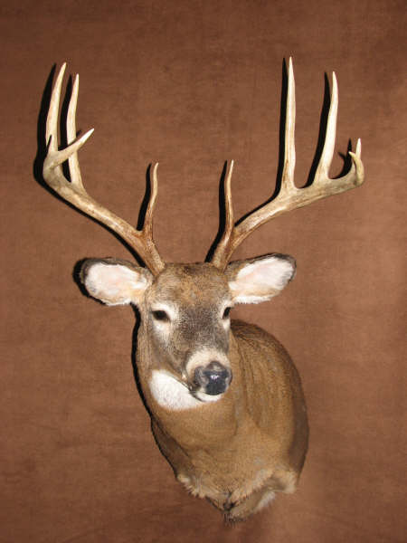head of whitetail deer